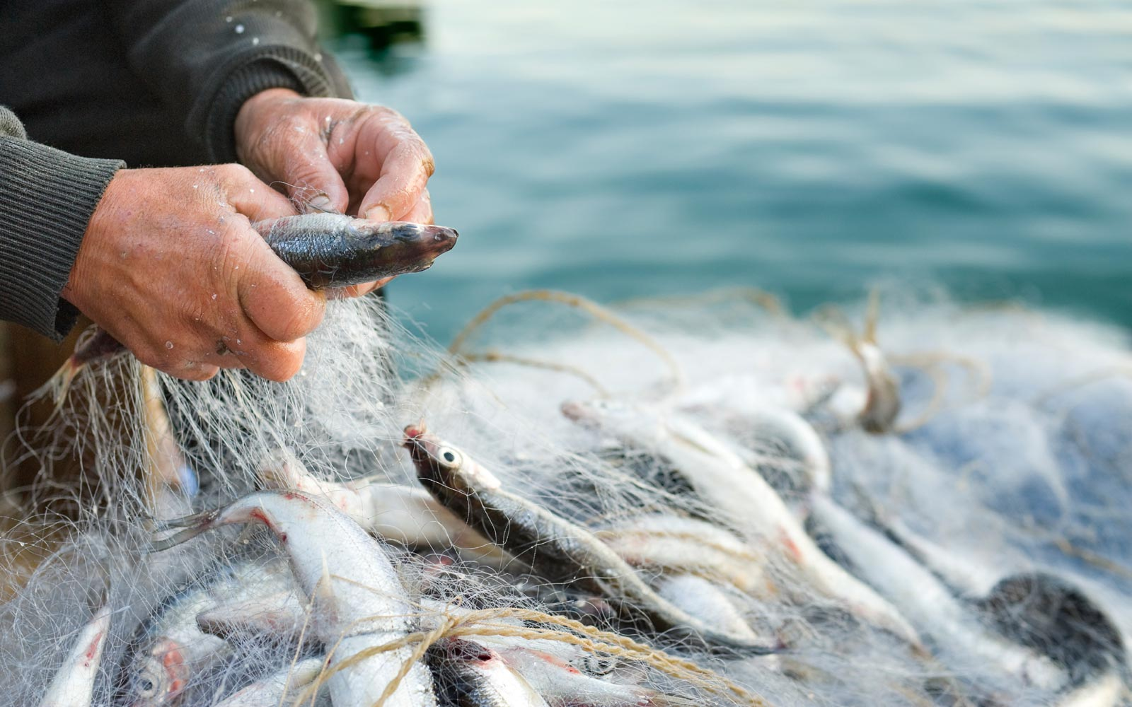Close-up showing the hands of a person inspecting a netted ocean fish catch
