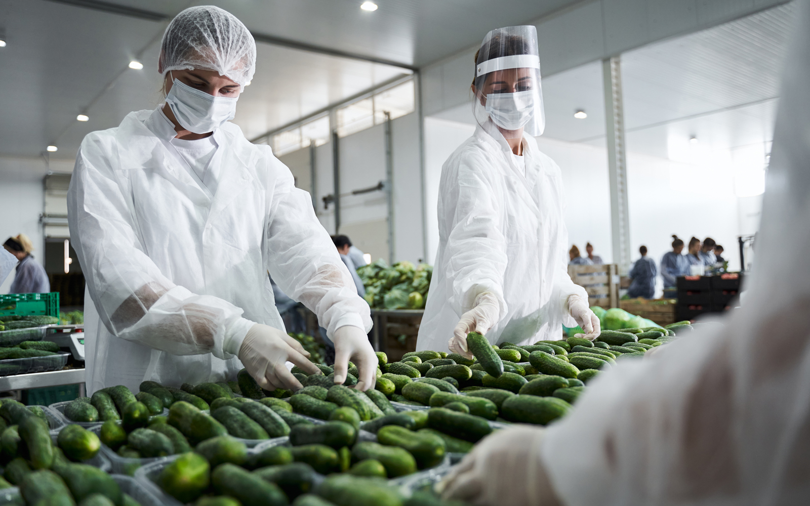 Food processing workers sorting cucumbers on a conveyor belt
